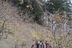 宝登山山頂ロウバイ園1