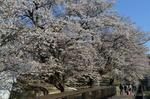 DSC_1094sakura.jpg